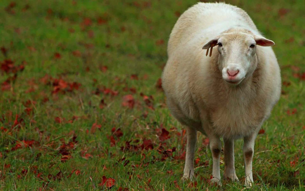 Ферма: День пятый - овца, баран, ягненок