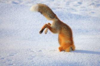 лиса хвост из снега